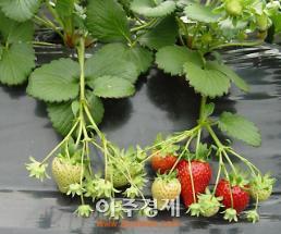 딸기 '숙향' 내수‧수출 두 토끼 잡는다