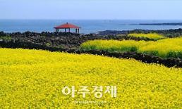 유채꽃·왕벚꽃·청보리 축제 즐겨요…제주 봄 축제 여행