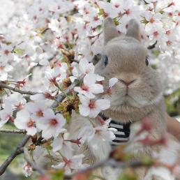 [심쿵주의] 벚꽃과 찰칵 인스타 귀염 토끼