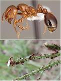 붉은불개미 의심개체 발견, 밟으면 다리 기어오르며 인해전술로 공격해 죽이기도