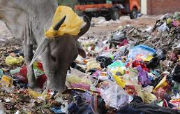 [포토] 쓰레기 음식 뿔난 소