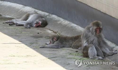 [글로벌포토] 일본 폭염에 지친 원숭이들
