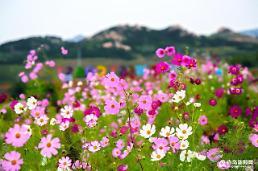 [중국포토] 코스모스꽃 피는 8월의 칭다오