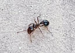 붉은불개미에도 쓸모가…개미 독으로 건선 치료한다?