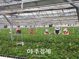 논산시, 바이러스 없는 '설향' 딸기묘 분양