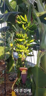 포항시, 바나나 재배 성공...농업에 새로운 비전 제시