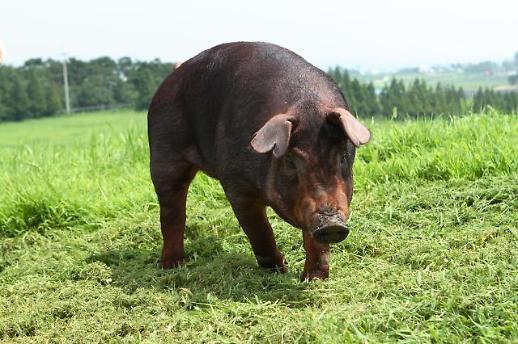 [미래의 농어촌]쌀 대신 주식 자리 꿰찬 돼지…대부분의 종자가 수입산인거 아시나요