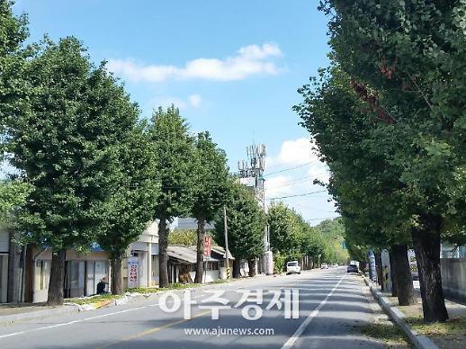 장성군 주민합의 따라 성산마을 은행나무 제거 결정