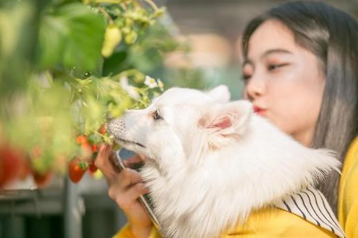 [행복한 펫팸족]사랑스런 댕댕이, 달콤한 딸기~반려견과 떠나는 양평 딸기투어