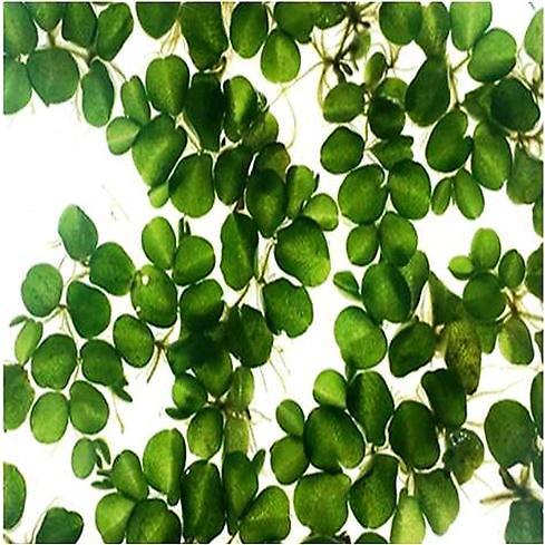 자생식물 '생이가래' 생태독성 시험종으로 활용된다