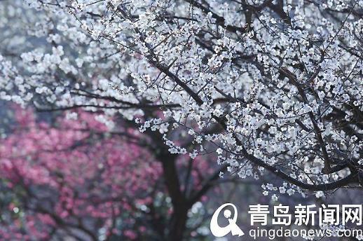 [중국포토]中칭다오 매화 활짝...봄이 찾아왔어요