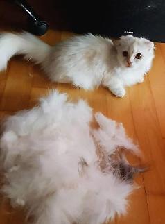 고양이 구토했다면 헤어볼 의심해야…예방하려면? #캣그라스 #브러쉬