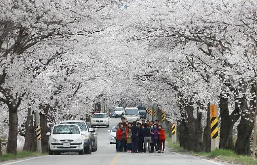 함양군, 봄향 가득 담은 백운산 벚꽃축제 내달 6일 팡파르