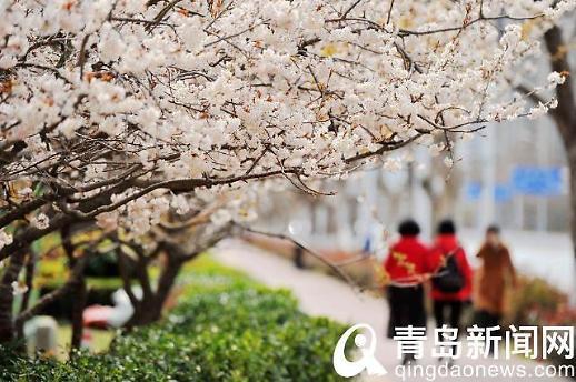 [중국포토]中칭다오 분홍빛 물결...벚꽃 만개