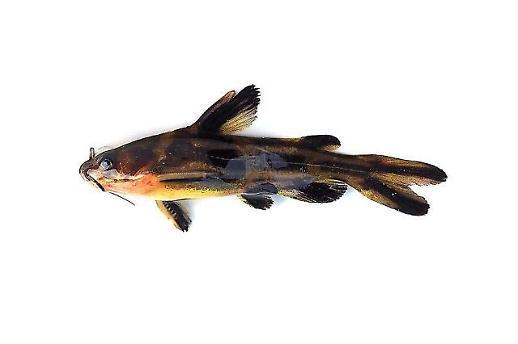 국립낙동강생물자원관, 민물고기 11종 유전자 분석