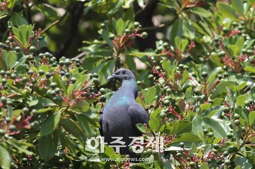 국립생태원, 울릉도 여름철새 멸종위기종 흑비둘기 일본에서 겨울 난다
