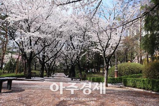 성남시 대표적 벚꽃길 8경 시민발길 줄이어