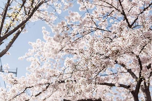 황금알 낳는 꽃..일본의 벚꽃 경제학