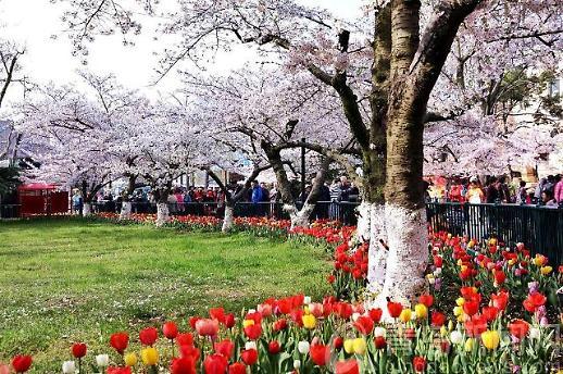 [중국 포토]벚꽃도 보고 튤립도 보고... 칭다오 중산공원 봄의 축체