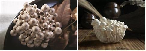 백일송이 느티만가닥 버섯, 아시나요?