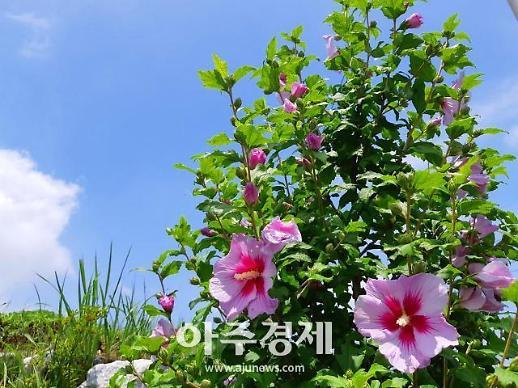 충절의 고장 홍성군, 올 여름 무궁화 꽃 활짝 핀다