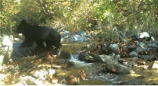 멸종위기 반달가슴곰, DMZ 동부지역 일대서 서식 확인