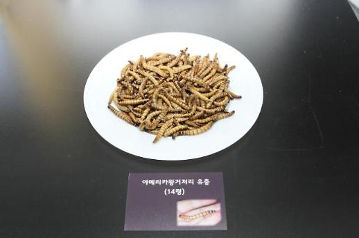 아메리카왕거저리 유충, 식품 원료로 쓰인다…식용곤충으로 인정