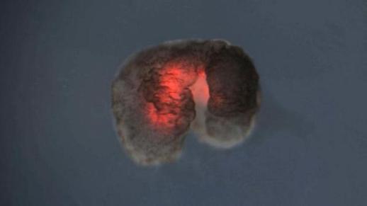 개구리 세포로 만든 살아있는 로봇… 스스로 치유하고 심장세포로 움직여