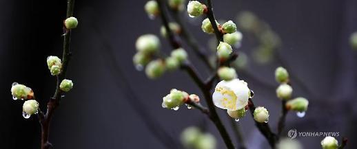 Mùa xuân đang đến trên đất nước Hàn quốc