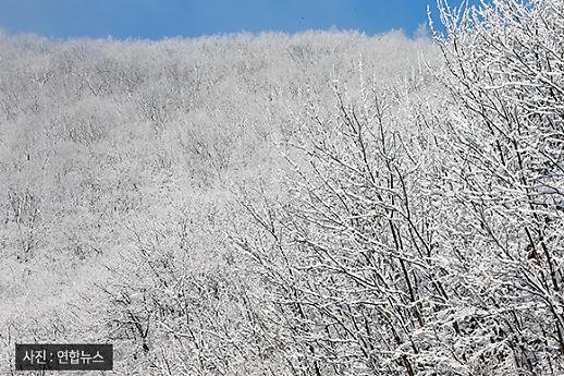 [이슈 PIC] 벚꽃 피는 봄에 펼쳐진 설경(雪景) 눈 덮인 대관령