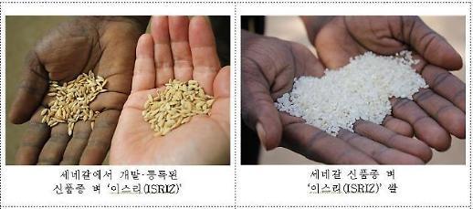 [농어촌] 통일벼 활용 신품종 개발 아프리카 식량문제 해결