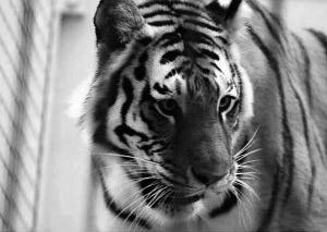 美国动物园老虎出逃咬死游客