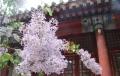在首尔重新爱上丁香花
