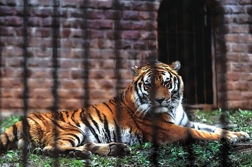 动物园老虎伤人 人之过也