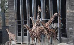 .丹麦动物园为优生 电死长颈鹿喂老虎 .