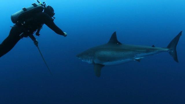 潜水员用鱼枪击退大白鲨