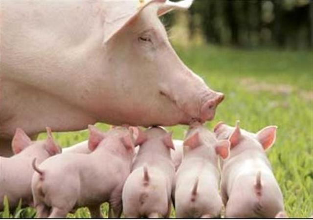 """被改变了的""""猪周期"""""""