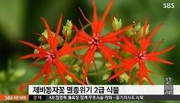 멸종위기 제비동자꽃 복원, 5년 전부터 씨 받아 200개체  안착 성공