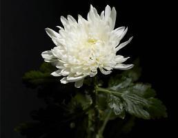 국화의 꽃말, 색깔 별로 다 달라…장례식 흰 국화는?