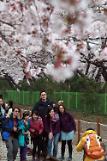 中国游客来韩赏樱花