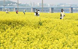 .Rape flower festival held on Seorae-seom Islet in Han River.