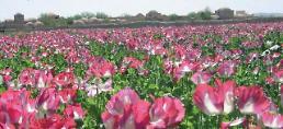 .阿富汗罂粟产量新高 或致全球死亡人数增加.