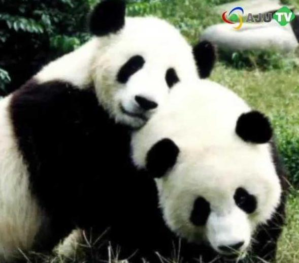 Twin cubs star in Chinas 'pandacam'