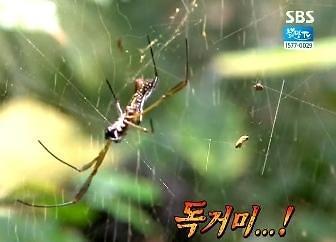 브라질 아마존숲 독거미에 물린 사람은 손 잘릴 정도?