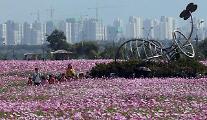 踏青好时节 波斯菊装点汉江公园