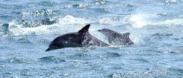 .Released dolphin gave birth to baby in wild.