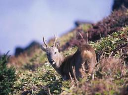 .Jeju island endorses deer hunting  for three more years.