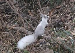 .Rare white squirrel spotted in S. Korea wild  .