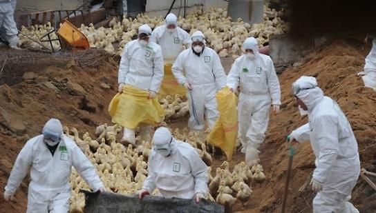 禽流感扑杀补偿金额2600亿韩元 地方政府财政负担加重