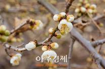 [AJU포토]  봄소식 전하는 광양 매화 꽃망울 터트려